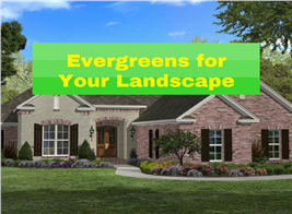Lead illustration for article about evergreens for your home landscape