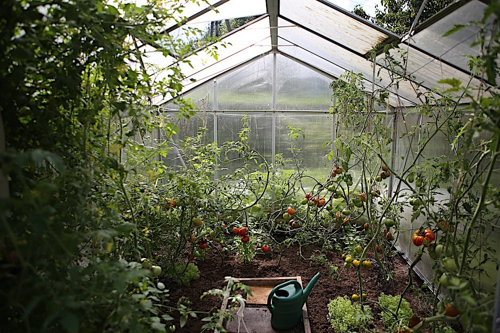 Garden featuring tomato plants in a greenhouse at the back of a home