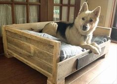 A perky German shepherd in its bed