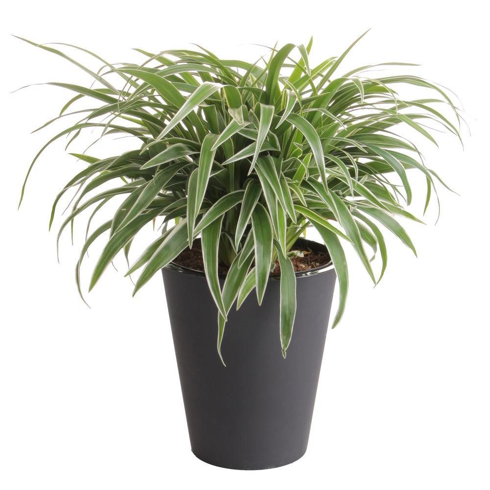 Growing A Spider Plant: The Best Houseplants For Busy People
