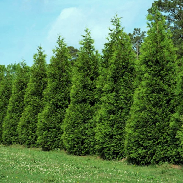 Arborvitae screen planting