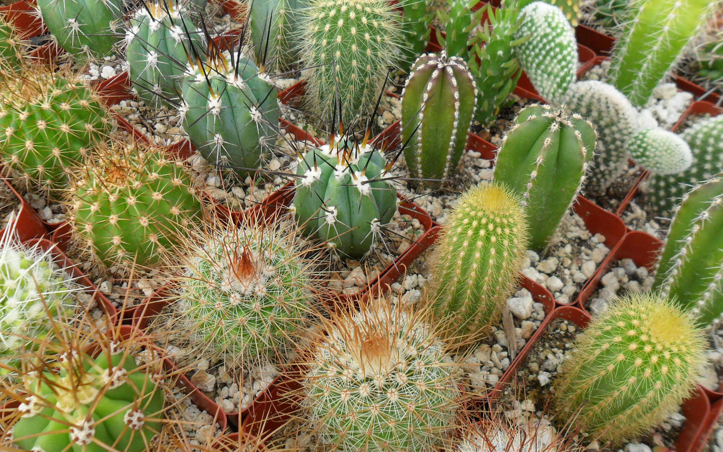 Selection of popular cacti