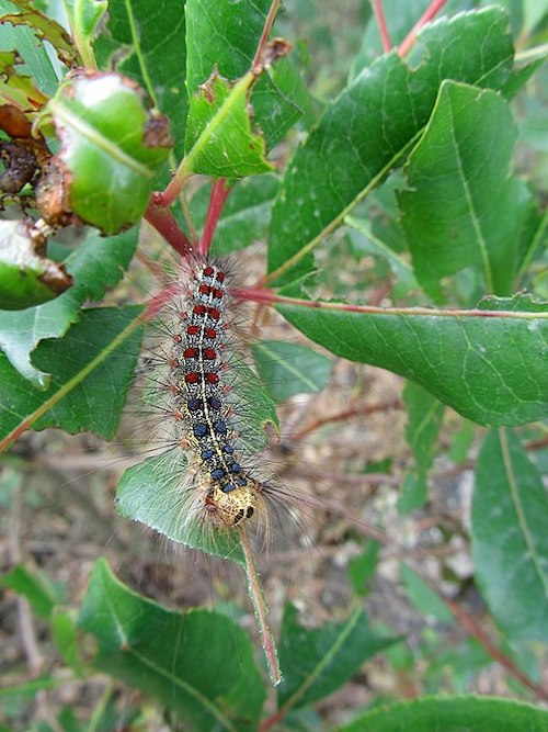 Destructive effects of Gypsy moth caterpillar on vegetation