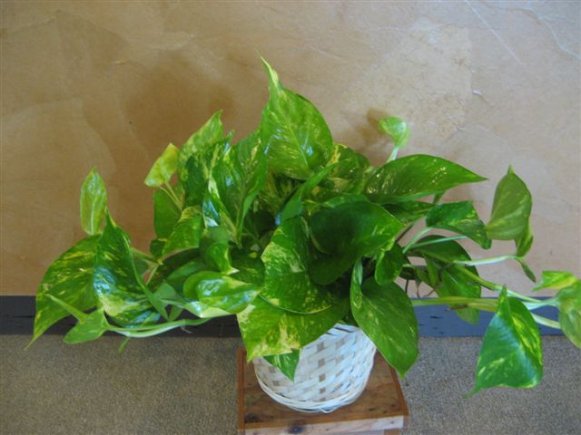 Golden pathos plant, or devil's ivy