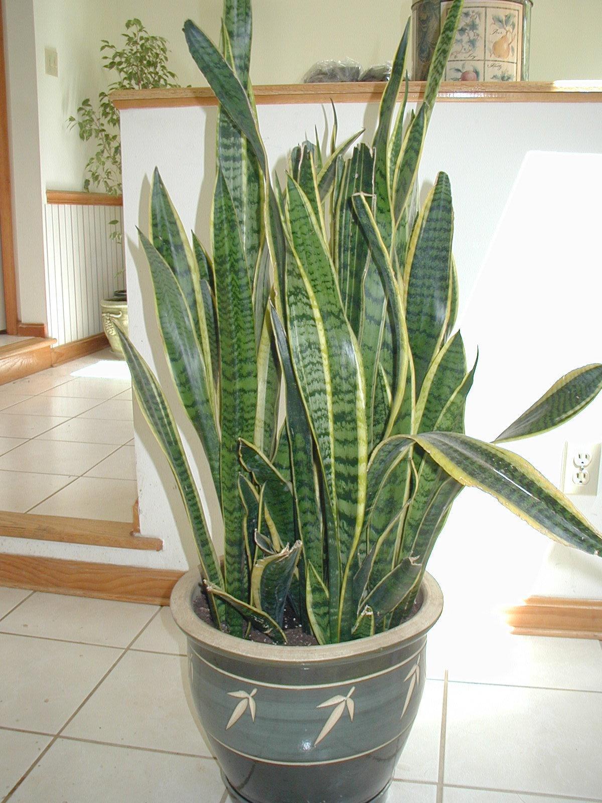 Snake plant (sansevieria)