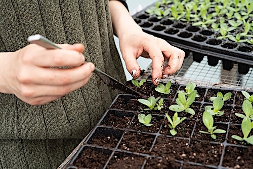 Seedlings planted in growing trays, ready to be transplanted