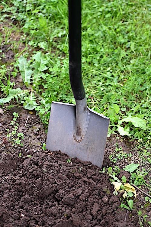 Shovel penetrating soil to loosen it in a garden