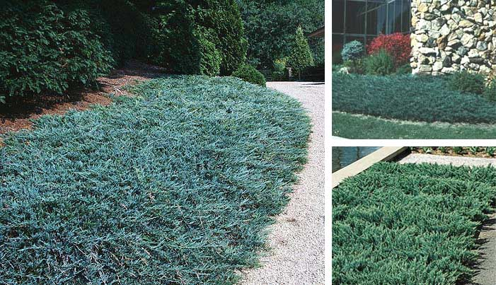 Juniper ground cover
