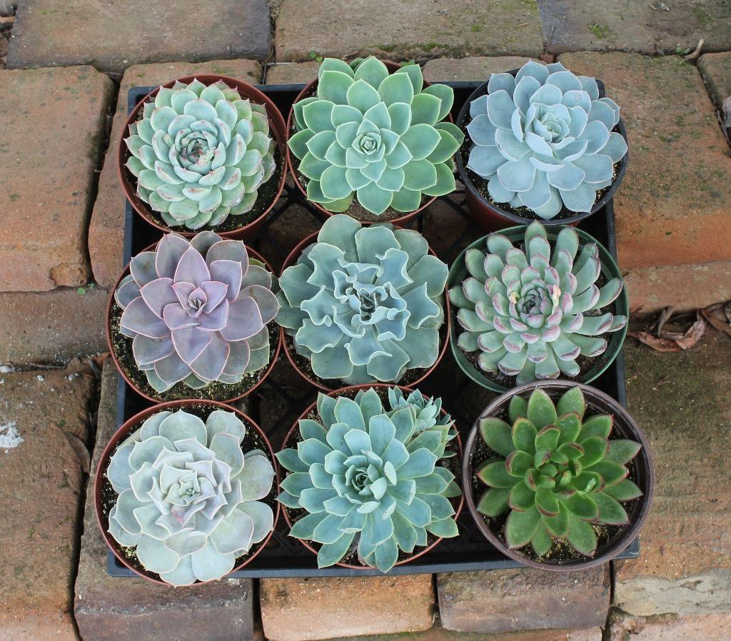 Selection of echeveria plants